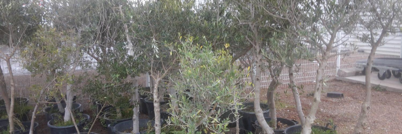 Oliviers dalifruits